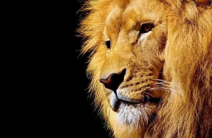 Cola de león